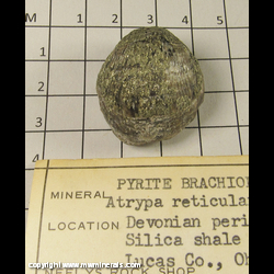 Mineral Specimen: Pyritized Brachipod - Atrypa Reticularis from Devonian period, Silica Shale formation, Lucas Co., Ohio