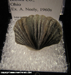 Minerals Specimen: Brachiopod species Platystrophia Cypha from Brown Co., Ohio Ex. A. Nely, 1960s